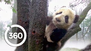 Download Protecting Pandas (360 Video) Video