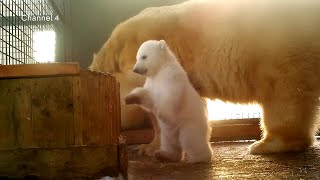 Download First polar bear cub born in Britain for 25 years Video