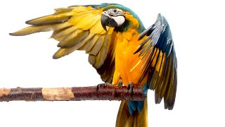 Download Mia The Macaw (Our First Month) Video