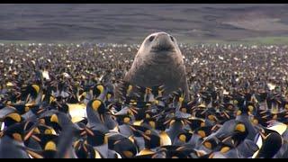 Download Penguin Baywatch (Wildlife Documentary) Video