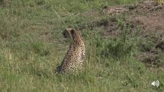 Download Cheetah makes a kill Sept 23 2017 (Mara) Video