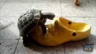 Download Turtles vs Shoes Compilation Video