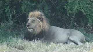 Download Male Lion Yawning Video