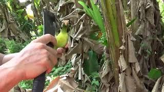 Download Jebakan burung menggunakan pulut dari oli bekas Video