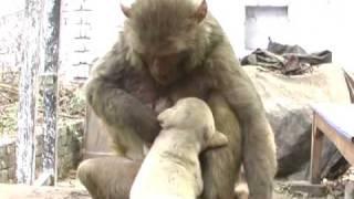 Download monkey-puppy love 1 (1).wmv Video