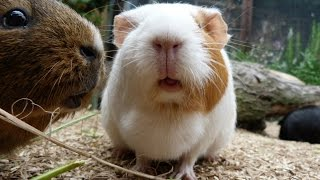 Download Daily Guinea Pig Routine Video