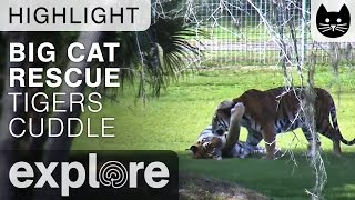Download Tiger Cuddles at Big Cat Rescue - Live Cam Highlight Video