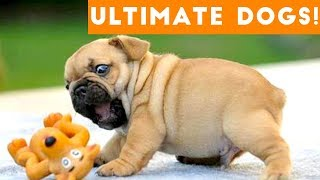 Download Ultimate FUNNY DOGS & CUTE PUPPIES of 2018 | Try Not to Laugh Animals & Pets Compilation April Video