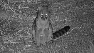 Download Djuma: Large Spotted Genet - 00:21 - 03/24/19 Video