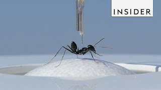 Download Ant Treadmill and Other Ant Science Video