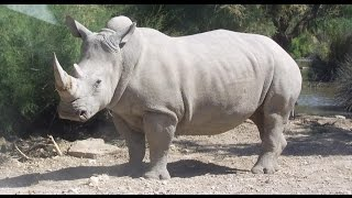 Download Extinction: Only ONE Breeding White Rhino Left on Earth Video