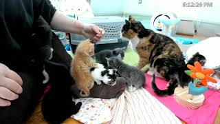 Download Kitkat Playroom: Orphan Gatitos Meet the Baby Bloomers and their new mama in the most wonderful way Video