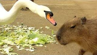 Download カピバラの「白鳥が強すぎる件」 HD Ver. (capybara swan and cabbage HD ver.) Video