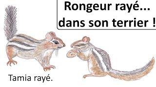 Download RONGEUR RAYÉ... DANS SON TERRIER ! - Tamia rayé. Video