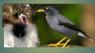Download Cari sarang burung jalak, burung jalak bersarang di tanah Video