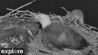 Download Fox Attacks Bald Eagle Nest! Video