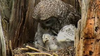 Download 170517 Great Gray Owl - Youngest CAN Swallow a Rodent Video