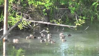 Download 23 Wood Duck Babies jump from box. Video