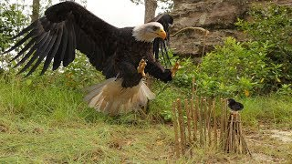 Download Forest men Make Quick Eagle Trap Using Primitive Source - How to Make Bird Trap to Work 100% Video