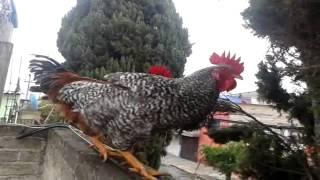 Download gallo cantando - 3 Video
