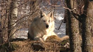 Download International Wolf Center- Sounds of Packs (Exhibit and Retired) 23 March 2018 Video