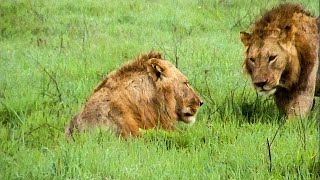 Download Extraordinary Lion Hunt Filmed - Attenborough 60 Years In The Wild - BBC Earth Video