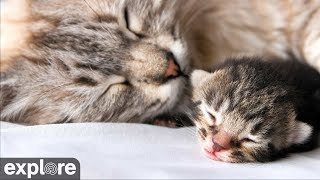 Download Kitten Rescue - Baby Kittens Cam powered by EXPLORE.org Video