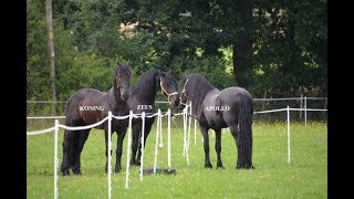 Download THREE FRIESIAN HORSES MEET FOR THE FIRST TIME Video