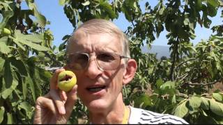 Download Fig Trees Orchards in Turkey: Pollination With Blastophaga psenes (Agaonidae) Video