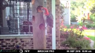 Download Recycled Suet Plug Feeder Video