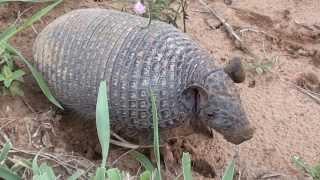 Download Três espécies diferentes de tatu, Peba, Rabo mole, Galinha, Video