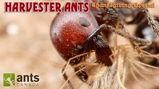 Download A BEARDED ANT?!!! | Harvester Ants (Thanksgiving Special Part 2) Video