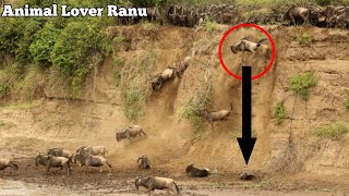 Download Wildebeest Migration Masai Mara River Kenya|Wildebeest Crossing Mara River Masai Mara Migration Video