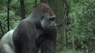 Download Bronx Zoo Gorillas Celebrate with Cupcakes! Video