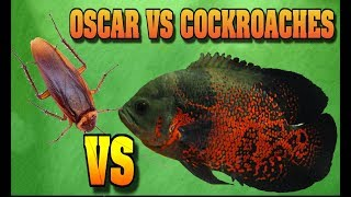 Download Oscar Fish VS Cockroaches FISH TANK AQUARIUMS HOW I FEED MY MONSTER FISH Video