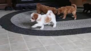 Download Mini Poodle Puppies For Sale Elmer Beiler Video