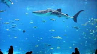 Download Georgia Aquarium Whale Sharks and Stunning Fish in 1080p HIGH DEF Video