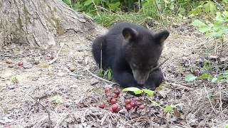Download Otto, Rollo, Dani and Summitt Bear-July 22, 2017 Video