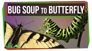 Download How Does Bug Soup Become a Butterfly? Video