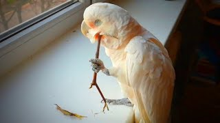 Download Playful Birds 🦜🦜 Crazy Parrots Doing Crazy Things (Full) [Funny Pets] Video