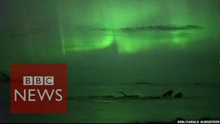 Download Whales play under the Northern Lights in Norway - BBC News Video