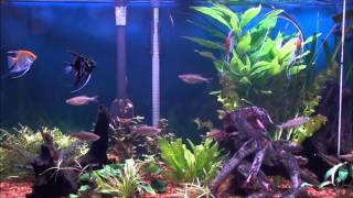 Download Giant Danios in the Planted Tank Video