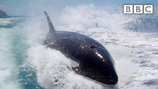 Download Why did Killer Whales chase a tourism boat? - Nature's Weirdest Events: Series 4 Episode 1 - BBC Two Video