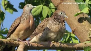 Download Wild Birds of Paranaque (Philippines) Video