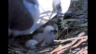 Download Feeding tiny White Bellied Sea Eagle. 15.48 / 22 July 2018 Video