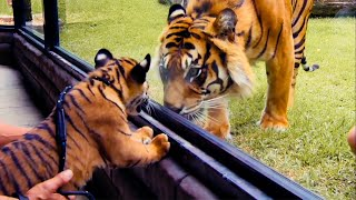 Download Top 5 Tiger Moments | BBC Earth Video