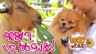Download น้องหมาปะทะคุณแกะ!!คุณแพะ!! - ตะลอนทัวร์กับตัวแสบ - ตลาดน้ำหัวหิน(CUT) Video