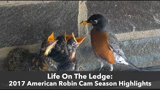 Download Life On The Ledge: 2017 American Robin Cam Highlights Video