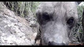 Download Wild Striped Hyena - Lake Eyasi, Tanzania Video