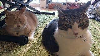 Download 台風接近、家で猫とまったりの休日【猫日記こむぎ&だいず】2017 10 21 Video